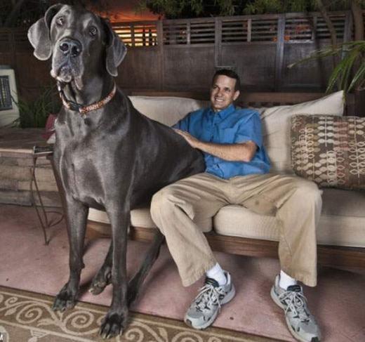 Chú chó Georgeđược ghi vào sách kỉ lục Guinness với trọng lượng khổng lồ 111kg và tiêu thụ 50kg thức ăn mỗi tháng. (Ảnh: Internet)