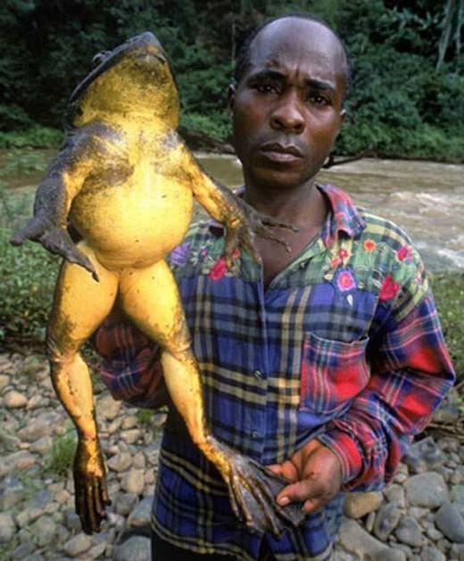 Ếch khổng lồ Cameroon có tuổi thọ lên đến 15 năm. Chúng ăn tất cả mọi thứnhư chim, rắn... và cả loài ếch khác. (Ảnh: Internet)