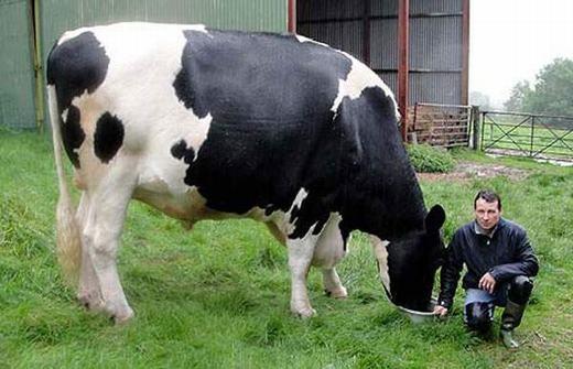 Chú bò sữa này nặng hơn 1 tấn và dài hơn 4,2m. (Ảnh: Internet)