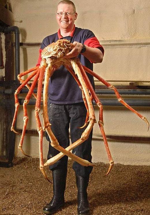 Cua nhện Nhật Bản nổi tiếng với kích thước to lớn và chân có những chiếc vuốt sắc nhọn, có thể gây trọng thương cho ai tới gần. (Ảnh: Internet)