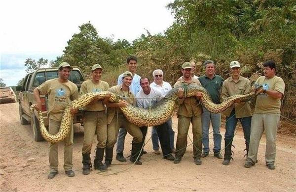Trăn Anaconda– nỗi khiếp sợ của vùngsông nước Amazon. (Ảnh: Internet)