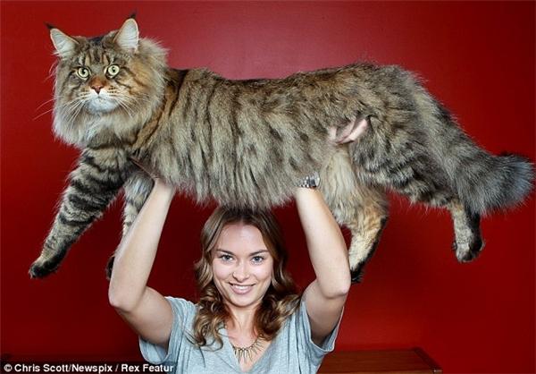 """Mèo Rupertcũng được mệnh danh là """"chúa tể loài mèo"""" nhờ kích thước và chiều dài """"siêu hạng"""". (Ảnh: Internet)"""