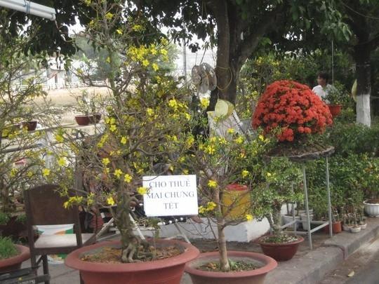 Nhiều người không mua mà đi thuê cây kiểng về trưng Tết. (Ảnh Internet)
