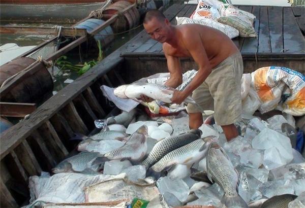 Một số cá còn tươi, người dân tranh thủ ướp đá để bán cho ai có nhu cầu. Ảnh: Internet