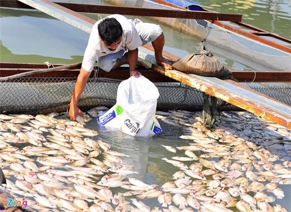 Cá chết phủ kín mặt nước, người dân làng bè rơi vào cảnh trắng tay