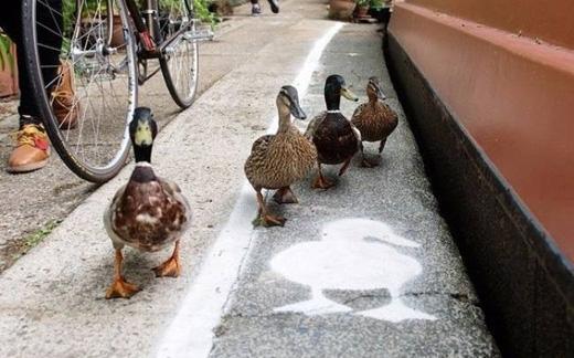 Ở London luôn có những làn đường dành riêng cho các loài động vật. Chúng sẽ không lo bị đánh đuổi hay xe tông. (Ảnh: Internet)