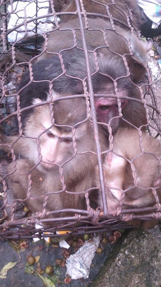 Những chú khỉ tội nghiệp trước khi bị giết hại. (Ảnh: Internet)