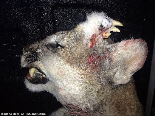 Chú sư tử núi với hàm răng kì lạ. (Ảnh: Idaho Dept)