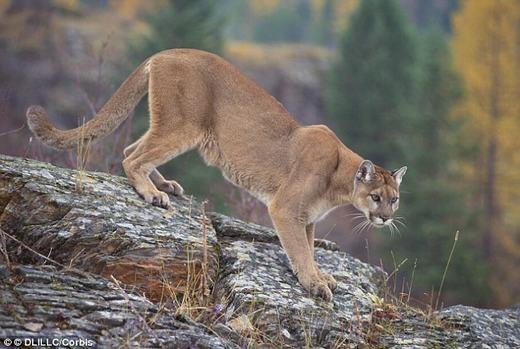 Loài sư tử núi có khả năng leo trèo giỏi. (Ảnh: DLILLC)