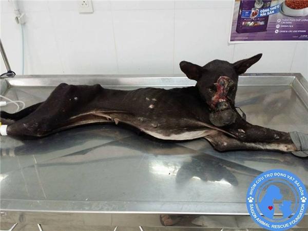 NY được tìm thấy trong tình trạng kiệt sức, gầy trơ xương, mõm bị hoại tử rất nặng, phần thịt bị xức ra để lộ cả xương và bốc mùi ở vùng da bị thương. (Ảnh: Facebook)