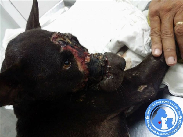 Sau khi giữ lại được chú chó, Nhóm cứu trợ động vật SAR đã tức tốc đưa NY về thành phố và chữa trị tại một bệnh viện ở quận Tân Phú. (Ảnh: Facebook)