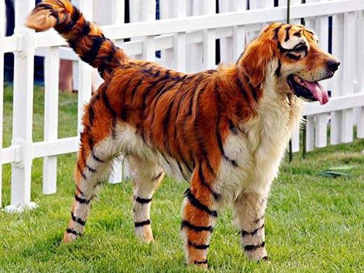 """Một em cún khác muốn""""hổ mà không báo"""" đây mà. (Ảnh: Internet)"""