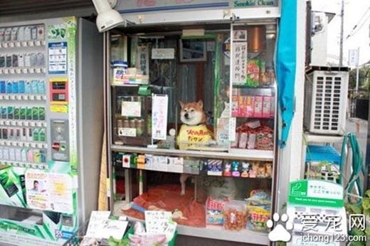 Trường hợp giúp chủ trông quầy nhưĐa Đa, ở Nhật cũng từng có trường hợp của chú chó Shiba