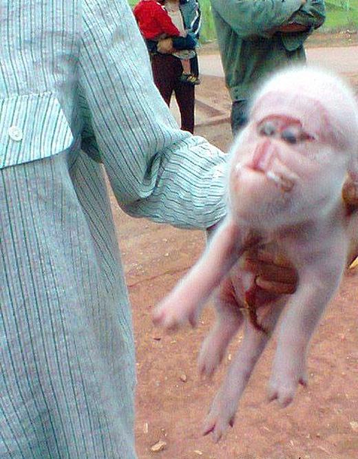 Một hình ảnh của chú lợn mặt khỉ được cư dân mạng lan truyền một cách chóng mặt. (Ảnh: Internet)