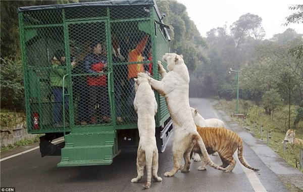 """Đây là một trong số ít những sở thú áp dụng hình thức """"nhốt"""" khách trong lồng để tham quan những động vật hoang dã. (Ảnh: Daily Mail)"""