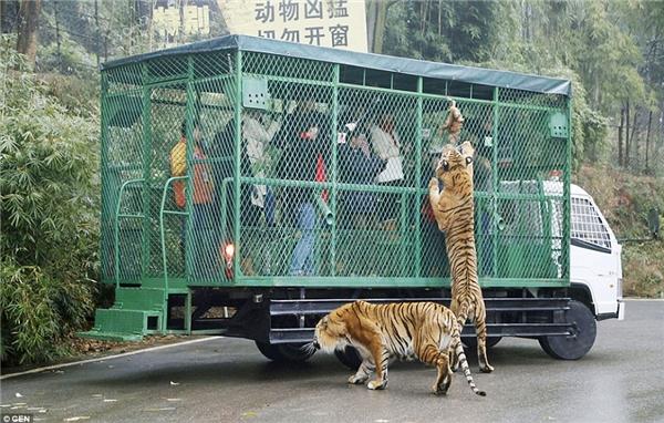 """Đứng bên trong lồng sắt, khách tham quan sẽ được cung cấp thức ăn để cho những """"chú mèo"""" to lớn đứng bên ngoài ăn, thậm chí leo cả lên trên nóc chuồng.(Ảnh: Daily Mail)"""