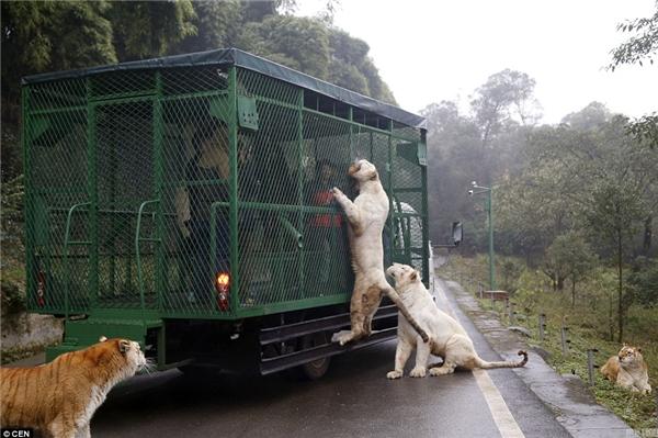 Con sư tử trắng đu hẳn lên lồng sắt để đớp lấy thức ăn.(Ảnh: Daily Mail)