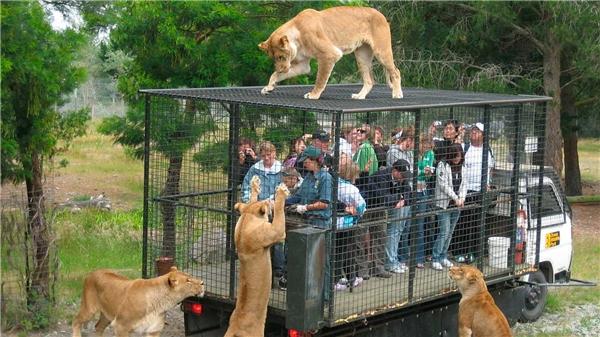 Bức ảnh đầy kinh hoàng khi những con sư tửnhảy hẳn lên chiếc lồng sắt, chỉ cách khách tham quan vài xen-ti-mét.(Ảnh: Daily Mail)