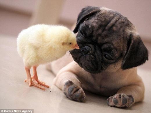 Một người đàn ông tên Tim đã chụp được những hình ảnh đáng kinh ngạc này. Trong ảnh là chú chó Pug tên là Fugly và chú gà con đáng yêu tên là KFC.