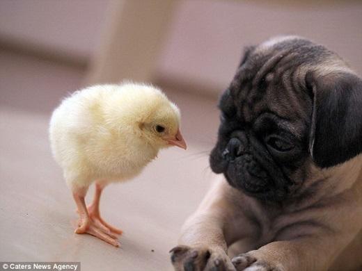 Tim cho biết, 2 động vật đáng yêu này là do anh và hàng xóm của mình đem về nhà nuôi gần như cùng một thời gian. (Nguồn Internet)