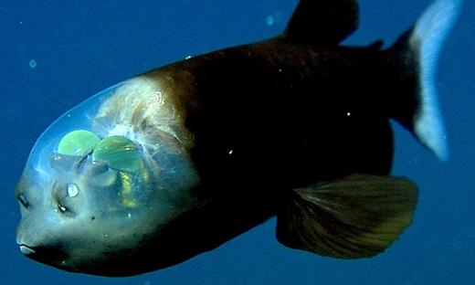 Loài cá kì lạ với phần đầu trong suốtlàm lộ rahai khối cầu trông nhưnão của chúng. (Ảnh: Internet)