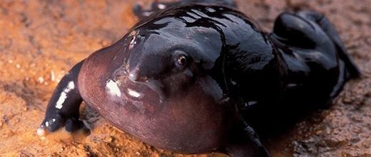 Ếch mũi heo, một loài có xuất xứ cổ đại gần trăm triệu năm trước. (Ảnh: Internet)