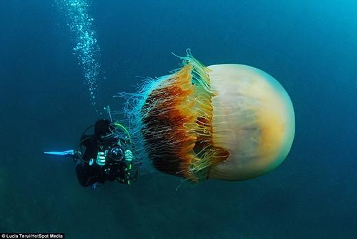 Loài sứa khổng lồ to hơn cả con người. (Ảnh: Internet)