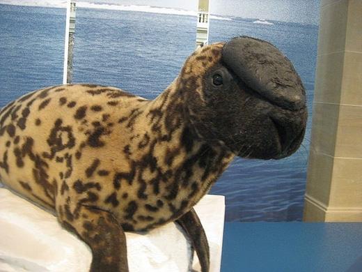 Hải cẩu trùm đầu: loài vật này chỉ sống ở một số khu vực thuộc trung bộ và tây Bắc Đại Tây Dương, hình thù kìlạ nhờ phần khoang mũi nằm trên đỉnh đầu, có thể phồng lên hay xẹp xuống khi bơi. Ngoài ra chiếc khoang mũi độc đáo này cũng phồng lên khi chúng bị đe dọa, để thu hút bạn tình, hay chứng tỏ sức mạnh. Loài vật này có thể nặng đến 400kg và dài đến 2,5m. Tuy nhiên hải cẩu trùm đầu đang đứng trước nguy cơ tuyệt chủng vì bị săn bắtquá nhiều. (Ảnh: Internet)