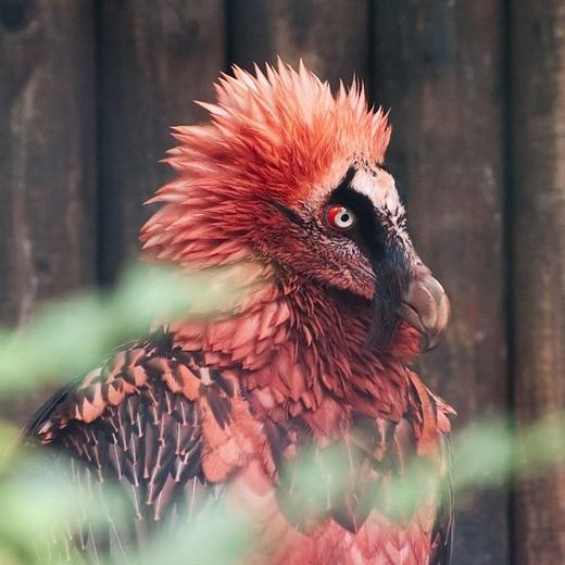 Kền kền râu: loài chim tuyệt đẹp này sống chủ yếu ở các ngọn núi cao và vùng rừng núi ở châu Âu và châu Á. Vì chúng hay tấn công trẻ con và gia súc nên bị săn bắnráo riết, khiến cho số lượng của chúng hiện chỉ còn 10.000 con. (Ảnh: Internet)