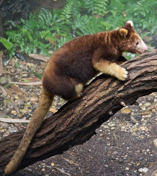 Chuột túi cây: loài động vật có túi này sống trong những khu rừng mưa ở New Guinea và Queensland, và cũng giống như tên gọi, chúng thuộc họ chuột túi nhưng sống trên cây. Tuy nhiên việc săn bắn bừa bãi và tàn phá rừng quá mức đã khiến loài vật này đang đứng trước nguy cơ tuyệt chủng. (Ảnh: Internet)