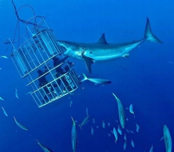 Đại dương sâu thẳm với hàng chục con cá mập vây quanh không phải là chuyến tham quan phù hợp với người yếu tim.(Ảnh: Internet)