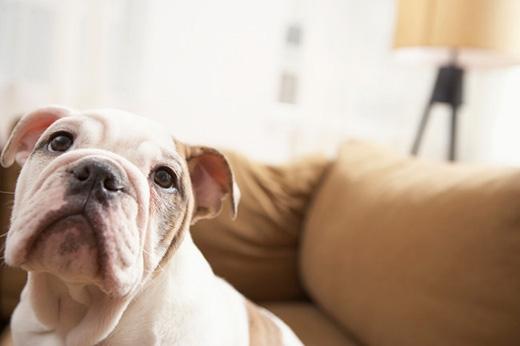 Một cuộc nghiên cứu trên những người bị rối loạn giấc ngủ cho thấy có đến 53% những người nuôi thú cưng trong nhà bị chúng làm cho mất ngủ, chẳng hạn như sủa, cào cấu, ngáy hay nhảy lên nhảy xuống giường. Chính vì thế, dù có yêu thương thú cưng đến mấy cũng không nên cho chúng ngủ cùng phòng. (Ảnh: Internet)