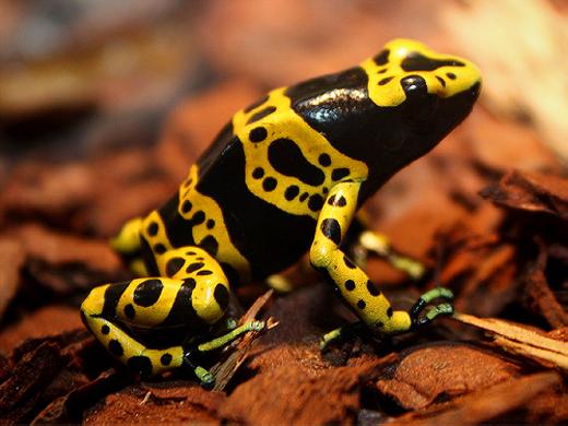 Loài ếch có màu sắc sặc sỡ này có tên là ếch phi tiêu độc (Poison Dart), là loài đặc hữu củaTrung và Nam Mỹ. Độc tố trên da nó có thể khiến 20.000 con chuột trưởng thành chết cùng lúc. Còn với con người, chỉ khoảng 2 microgram cũng đã khiến nạn nhân ngã quỵ. (Ảnh: Internet)