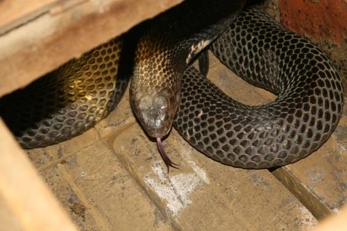 Cận cảnh loài rắn cực độc. Ảnh Hồng Hà