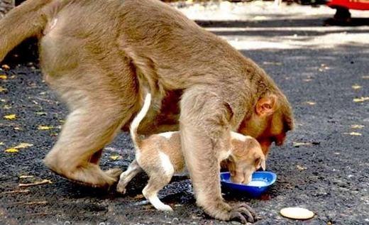 Cảm động cảnh khỉ cứu mạng và chăm sóc chú chó mồ côi như con đẻ