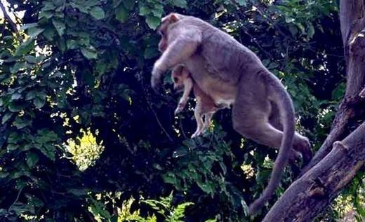 Chú khỉ đã cứu chú chó khỏi nguy hiểm... (Ảnh: Internet)