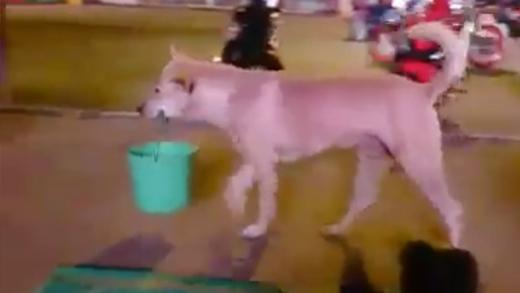 Xuất hiện chú chó ngậm xô... đi xin tiền cùng với chủ