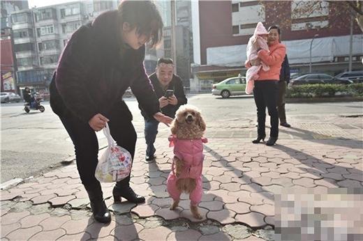 Người đi đường rất thích thú và liên tụcdừng lại nhìn, vuốt ve cô chó thông minh này. (Ảnh: Internet)