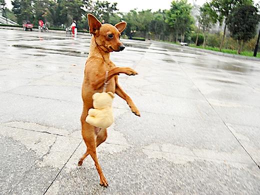 Cô chó đi 2 chân