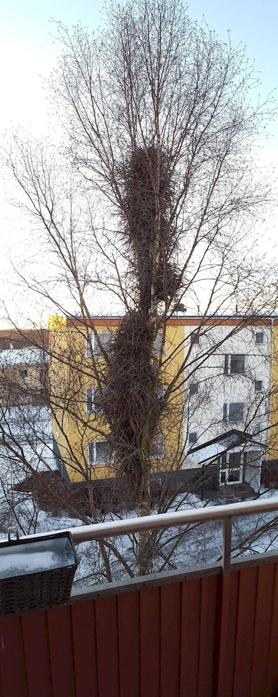Hệ thống tổ chim phủ dọc một thân cây như một cao ốc.(Ảnh: Diply)