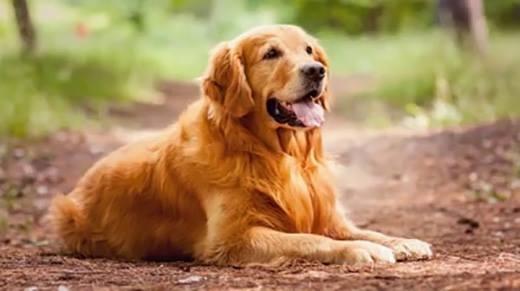 10 loài chó thích hợp nhất cho gia đình có trẻ nhỏ