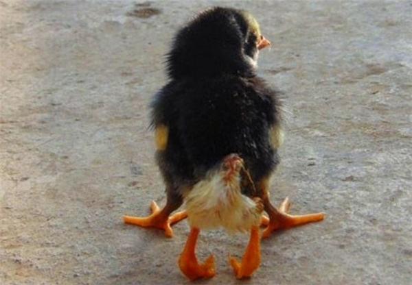 Con gà có 4 chân được phát hiện tại nhà ông Lán vào đầu năm 2015. Ảnh: Internet