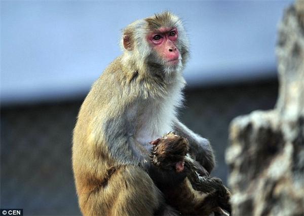 Hàng ngày, khỉ mẹvẫn bế khỉ con trong vòng tay, cho bú, ôm đi khắp mọi nơi và thậm chí là bắt chấy cho đứa con bé bỏng như thể con mình còn sống. Ảnh: Internet