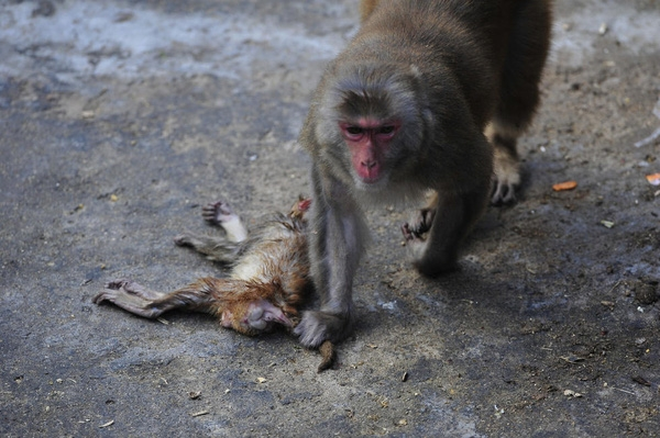 Theo các nhân viên vườn thú, cách đây không lâu, khỉ mẹ đã hạ sinh được 6 chú khỉ con. Nhân viên vườn thú chăm sóc đàn khỉ con vô cùng cẩn thận, thường xuyên kiểm tra sức khỏe cho từng con, nhưng không hiểu vì sao chú khỉ này lại chết bất thường. Ảnh: Internet