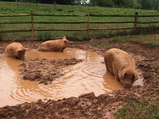 Khi lớn lên Wee Wee có thể thỏa thích vùng vẫy trong bùn.(Ảnh: Internet)