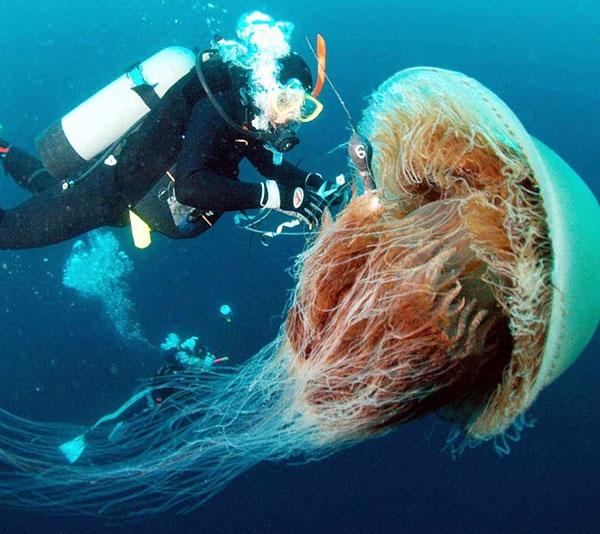 Cận cảnh con sứa khổng lồ (Ảnh: Internet)
