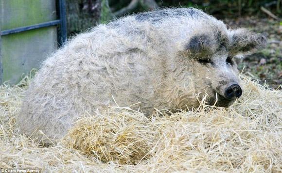 Chuột lang Guinea Pig Peru sở hữu bộ lông dài, mướt vô cùng kì lạ.(Ảnh: Internet) Heo mangalitsa là giống heo tự nhiên từ Châu Âu, chúng có nguồn gốc trực tiếp từ các quần thể heo rừng. Bộ lông của chúng bông xù không khác gì những chú cừu. (Ảnh: Internet)