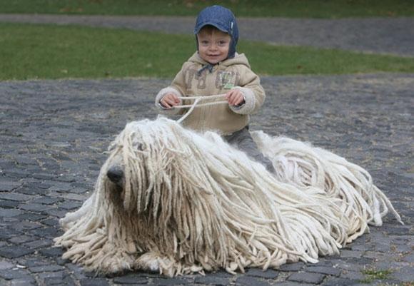 Chó Komondor còn được nhiều người gọi là chó giẻ lau nhà. Chó Komondor là giống chó chăn cừu của Hungary, một trong những loài chó cổ xưa lâu đời và độc đáo nhất thế giới. Với ngoại hình đặc biệt cùng những lọn lông to dài chấm đất, chú chó này rất được ưa chuộng tại Hungary.(Ảnh: Internet)