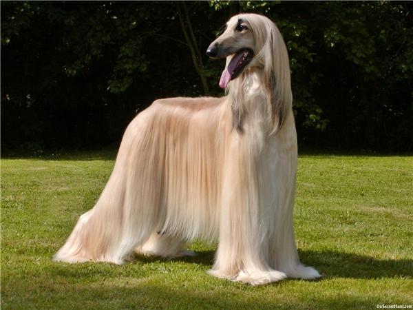 """Chó săn Afghan có nguồn gốc từ vùng Trung Á, chúng được xếp vào nhóm chó săn dựa vào tốc độ để săn mồi. Đừng nhìn bộ lông dài thượt của """"em nó"""" mà bạn coi thường nha.(Ảnh: Internet)"""