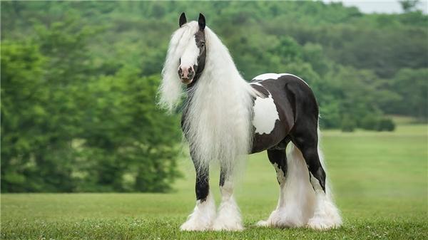 Ngựa Gypsy Vanner Horse là giống ngựa nhỏ, nhiều lông và có xuất xứ từ Vương quốc Anh, đượcxếp hạng là một trong 10 giống ngựa đẹp nhất hành tinh.(Ảnh: Internet)